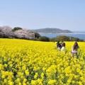 시카노시마에서 우미노나카미치를 일망하는 파노라마 꽃밭