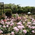 5月上旬からは春バラ240種2200株が咲き誇ります