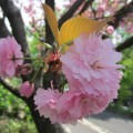 福岡市植物園で咲く珍しい桜・カンザン