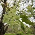 緑色の桜・ウコン。福岡市植物園には珍しい桜もいっぱいです