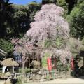 左谷山建正寺しだれ桜