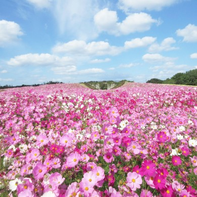 Fall season recommendation in Fukuoka is cosmos flower fields! Here' …