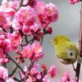 石橋文化センター 春の花まつり2017「梅まつり」