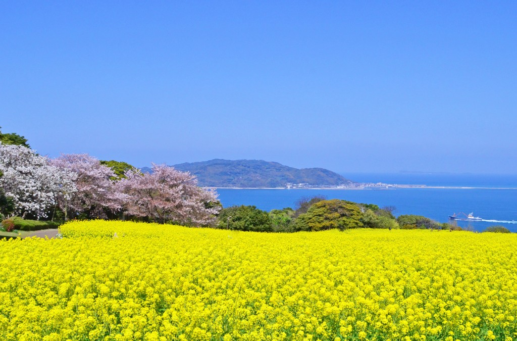 Dont forget your camera the canola flower fields of fukuoka herald nokonoshima island park is a concert between the immense vista and a chorus of beautiful flowers mightylinksfo