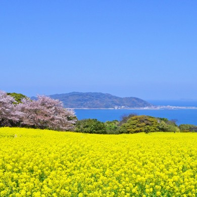 Don't forget your camera! The canola flower fields of Fukuoka herald …