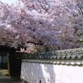 白うさぎ伝説と桜の名所巡り&姪浜ブランド店巡り