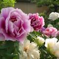ぼたん・しゃくやく花まつり【筥崎宮花庭園】一年を通して参道・花めぐり …