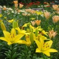 花庭園のユリ