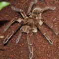 噛む!世界最大級の毒蜘蛛「タランチュラ(ゴライアスバードイーター)」