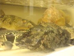 店内の生簀で泳ぐ魚たちアコウ、アラカブ、フグなど